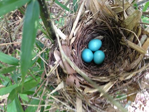 ガビチョウ卵